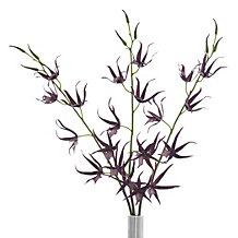 Spider Orchid - Set of 3