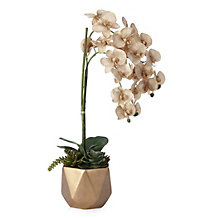 Phalaenopsis With Geometric Pot
