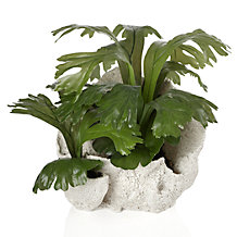 Potted Staghorn Fern