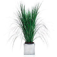 Potted Fountain Grass