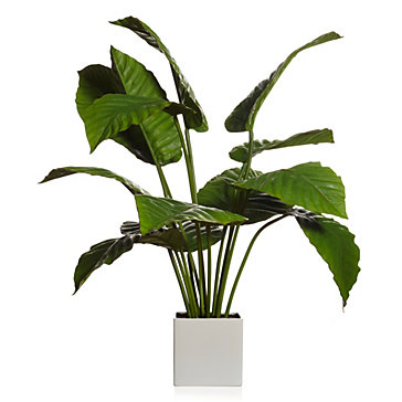 Potted Canna Leaf Plant
