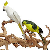 Feathered Cockatiel and Parrot