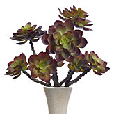Echeveria Stem - Set of 3 - Red