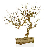 Bonsai Tree - Gold