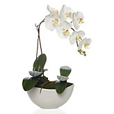 Potted Phalaenopsis - White