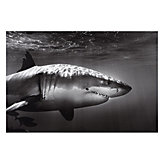 White Shark Profile
