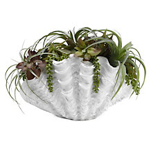 Succulents In Large Shell