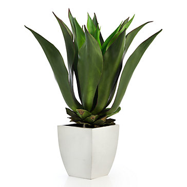 Agave Bush With Square Pot