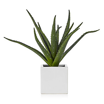 Aloe plant mother 39 s day collections z gallerie - Aloe vera plant care tips beginners guide ...